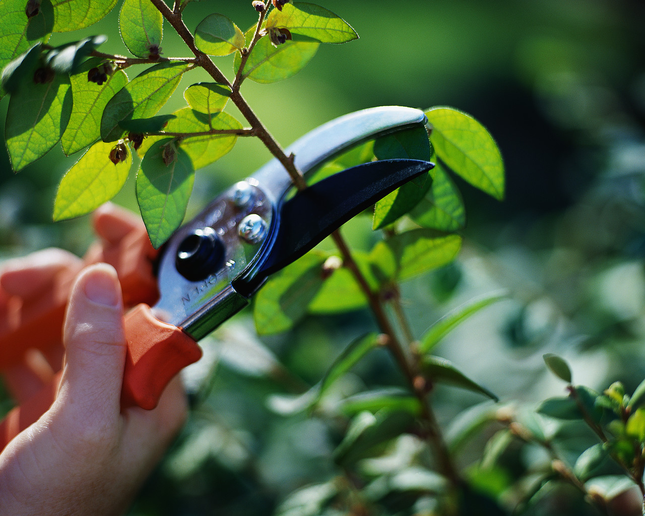 Image of pruning shears