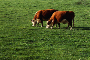 Cover photo for Spring Time Pastures and Grass Tetany