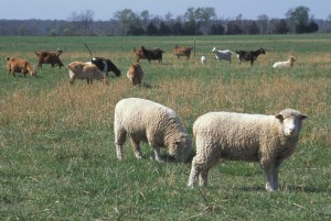 Cover photo for RESCHEDULED - Regional Sheep & Goat Producer Training Saturday, March 24, 2018