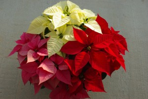 Cover photo for All About Poinsettias