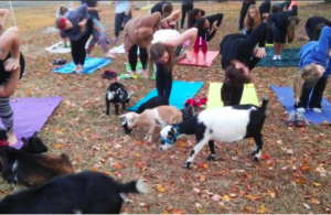 Cover photo for Yoga With Goats