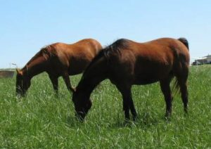 Cover photo for NCSU Equine Grazing and Pasture Management School
