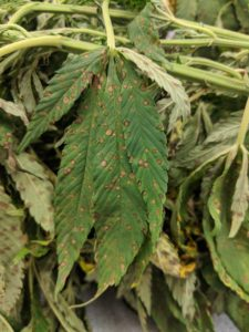 Cover photo for Exserohilum Leaf Spot Causing Problems in NC Hemp