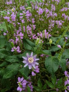 Lovely combo of purple passionflower and obedient plant.