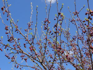 budding tree branches