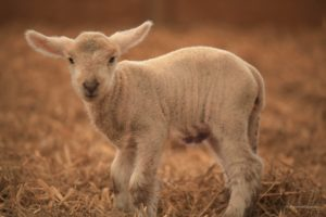 Cover photo for Selenium Deficiency in Livestock