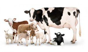 Ruminants: Cows, sheep, goats