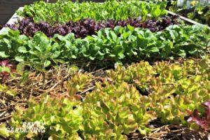 Beautiful lettuce variety
