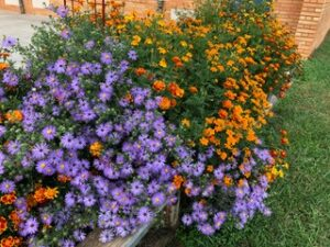 Marigolds and Fanny's Aster