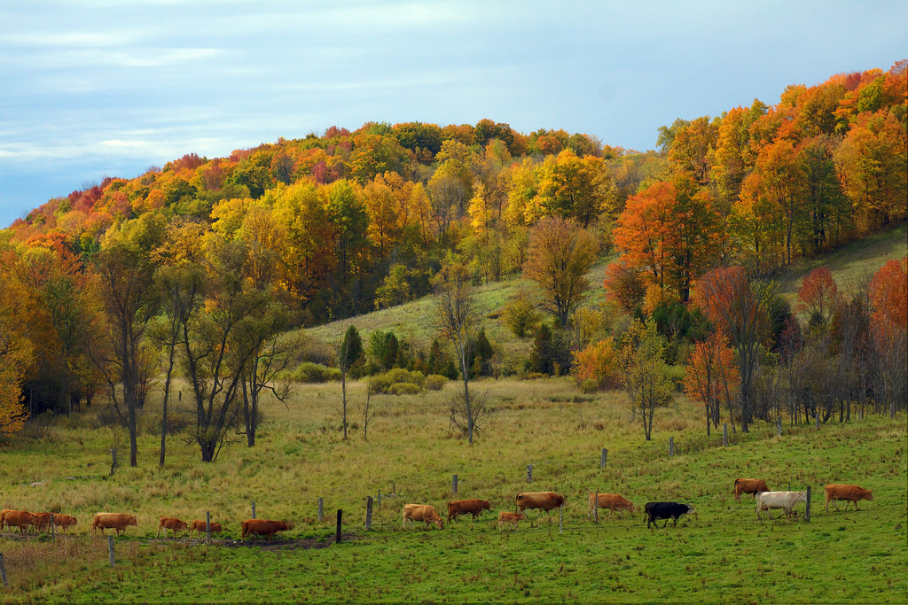 Cows Out Standing in a Fall Field