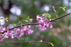 """Eastern Redbud Cercis-canadensis-var.-canadensis Photo-""""Buds""""-by-Sonnia-Hill-CC-BY-2.0"""